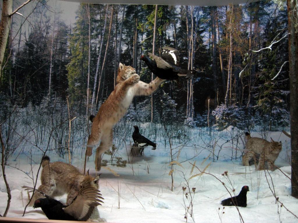 Охота рысей